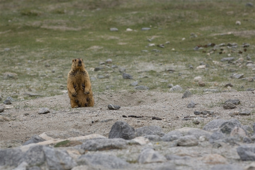 Marmots, on route to Pangong Tso
