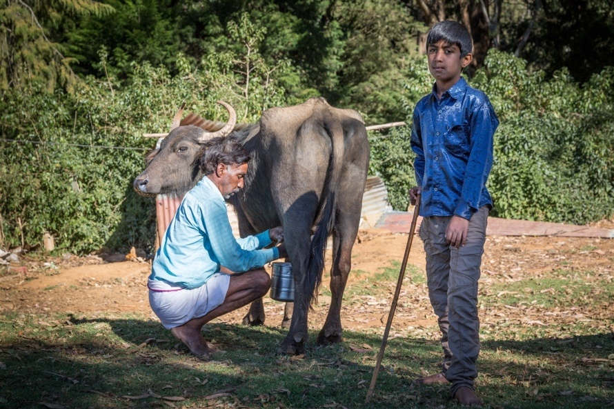 An elder of the Toda Tribe in Ooty, milking his buffalo